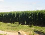 02-plantio-de-eucalipto