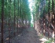 13-plantio-de-eucalipto