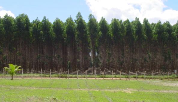plantio-eucalipto